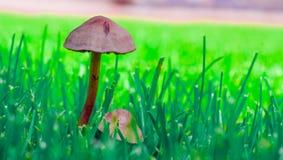 Cogumelo venenoso inacessível contra um fundo da grama verde Fotografia de Stock