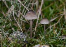 (Cogumelo venenoso minúsculo do avenacea de Mycena) Imagens de Stock Royalty Free