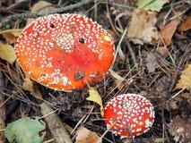 Cogumelo venenoso na floresta Fotos de Stock