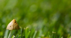 Cogumelo venenoso no jardim Fotos de Stock Royalty Free