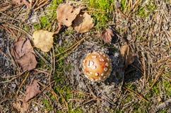 Cogumelo venenoso no solo arenoso foto de stock royalty free