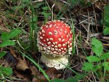 Cogumelo venenoso pequeno Fotografia de Stock Royalty Free