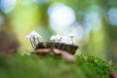 Cogumelo venenoso sulcado da capota, cogumelo Polygramma de Mycena Natureza dentro Fotografia de Stock