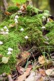 Cogumelo venenoso sulcado da capota, cogumelo Polygramma de Mycena Natureza dentro Imagens de Stock Royalty Free