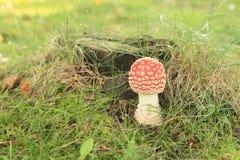 Cogumelo venenoso vermelho Foto de Stock