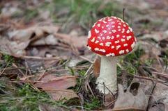 Cogumelo venenoso vermelho em uma floresta Fotografia de Stock Royalty Free