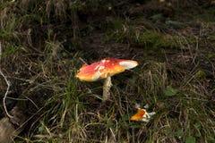 Cogumelo venenoso vermelho quebrado Fotografia de Stock