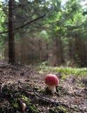 Cogumelo vermelho Fotografia de Stock