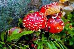 Cogumelo vermelho Imagens de Stock