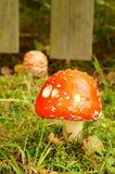 Cogumelo vermelho Imagem de Stock Royalty Free