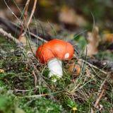 Cogumelo vermelho imagem de stock