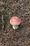 Cogumelo vermelho Imagens de Stock Royalty Free