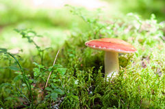 Cogumelo vermelho, cogumelos no musgo na floresta Fotos de Stock