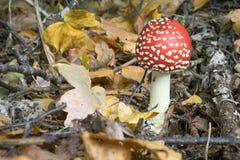 Cogumelo vermelho com os pontos brancos no assoalho da floresta fotografia de stock
