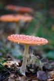 Cogumelo vermelho da mosca Fotos de Stock Royalty Free