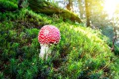 Cogumelo vermelho do agaric de mosca na floresta da manhã Foto de Stock Royalty Free