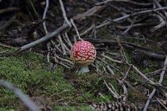 Cogumelo vermelho do amanita muscaria/com os pontos brancos no silverton Colorado Fotografia de Stock Royalty Free