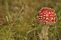 Cogumelo vermelho do cogumelo venenoso na floresta quando Foto de Stock