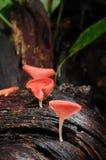 Cogumelo vermelho do copo na floresta húmida Foto de Stock Royalty Free