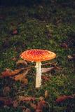 Cogumelo vermelho na floresta imagem de stock royalty free