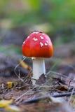 Cogumelo vermelho na floresta Imagens de Stock
