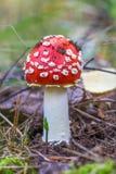Cogumelo vermelho na floresta Fotografia de Stock