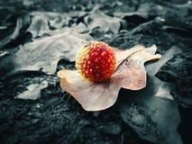 Cogumelo vermelho na forma de uma bola, com espinhas amarelas em uma folha do outono do carvalho, em um fundo obscuro preto e bra Fotografia de Stock Royalty Free
