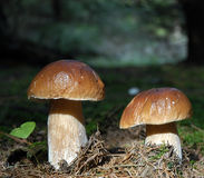 Cogumelos Fotografia de Stock