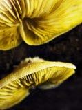 Cogumelos Foto de Stock Royalty Free