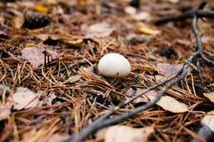 Cogumelos, agulhas, cones Fotos de Stock
