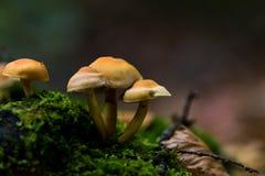 Cogumelos alaranjados Fotografia de Stock