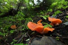 Cogumelos alaranjados Imagens de Stock Royalty Free