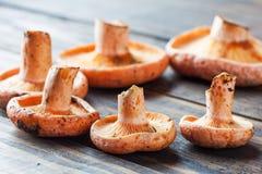 Cogumelos alaranjados comestíveis - tampão do leite do açafrão Imagem de Stock Royalty Free