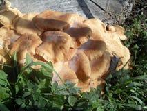 Cogumelos alaranjados em Itália imagem de stock royalty free