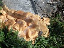 Cogumelos alaranjados em Itália fotos de stock royalty free