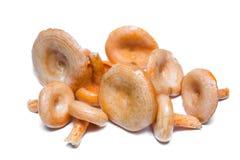 Cogumelos alaranjados Seção Deliciosi do Lactarius Fotografia de Stock Royalty Free