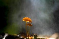 Cogumelos alaranjados, siccus do Marasmius Imagens de Stock