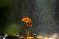 Cogumelos alaranjados, siccus do Marasmius Foto de Stock Royalty Free