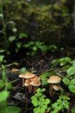 Cogumelos amarelos Fotos de Stock Royalty Free