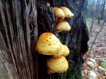 cogumelos amarelos do outono fotos de stock royalty free