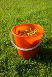 Cogumelos amarelos recentemente escolhidos de Chantarelle Imagens de Stock Royalty Free