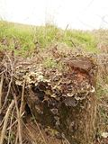 Cogumelos bonitos grandes na madeira podre velha foto de stock royalty free