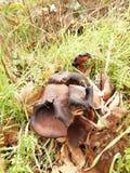 Cogumelos bonitos grandes na madeira podre velha imagem de stock