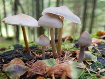 Cogumelos brancos Fotos de Stock