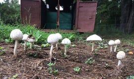 Cogumelos brancos e reboque velho do cavalo Fotografia de Stock