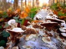 Cogumelos brancos em uma árvore fotos de stock royalty free