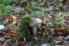 Cogumelos brancos não comestíveis Foto de Stock Royalty Free
