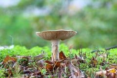 Cogumelos brancos não comestíveis Fotos de Stock Royalty Free