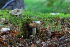 Cogumelos brancos não comestíveis Imagens de Stock Royalty Free