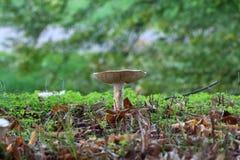 Cogumelos brancos não comestíveis Fotografia de Stock